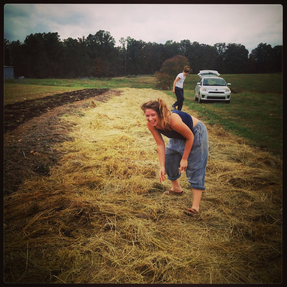 Mulching the garlic!