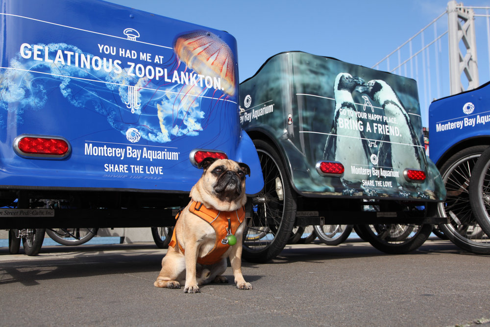 Our pedicabs got dressed up over the summer to promote the aquarium in anticipation of the whale installation. Catch a ride with us up to Crissy Field to see the whale and if you're lucky you'll get to ride with Frank the Pedicab Pug!