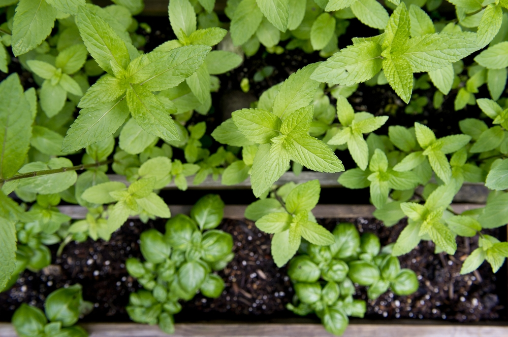 My Herb Garden from Spring 2014