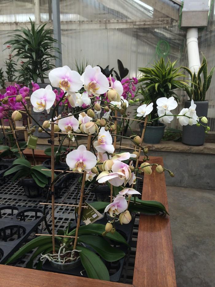orchid in treillis.jpg