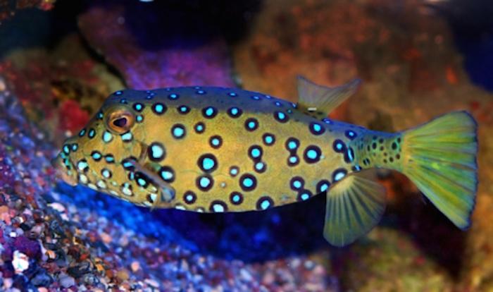 trunkfish.jpg
