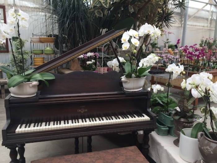 piano orchids.jpg
