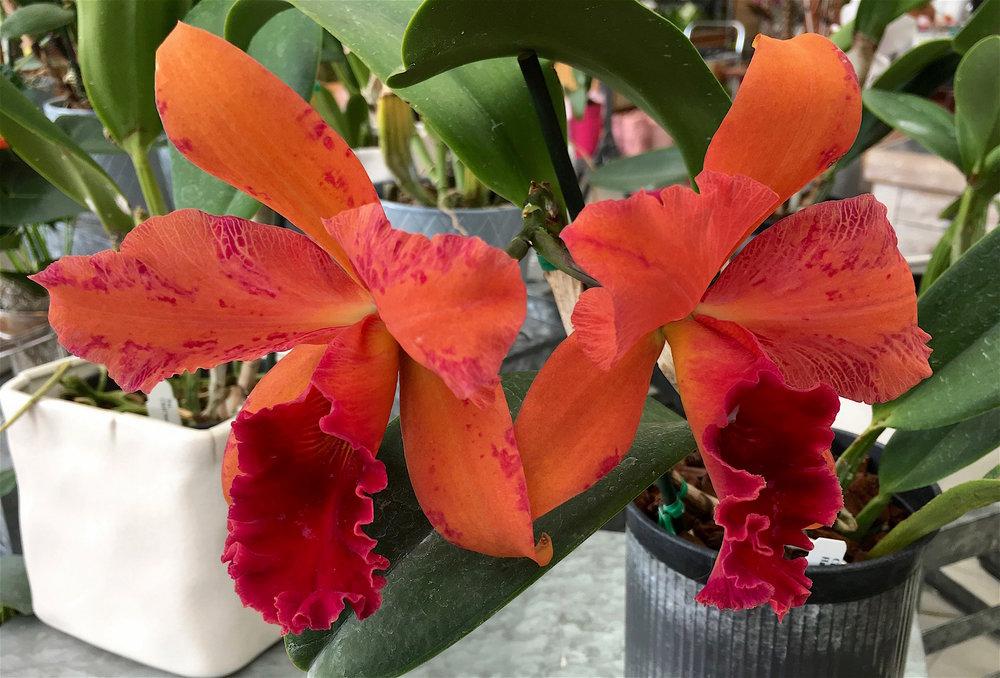 orangeredcattleya.jpg