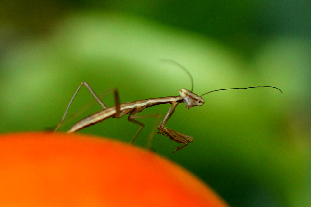Baby Praying Mantis 2014-2.jpg