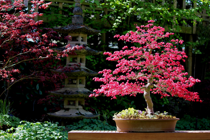 Bonsai tree -486975919.jpg