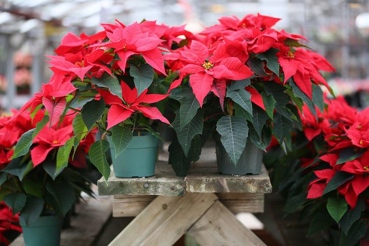 Christmas flowers 497054432.jpg