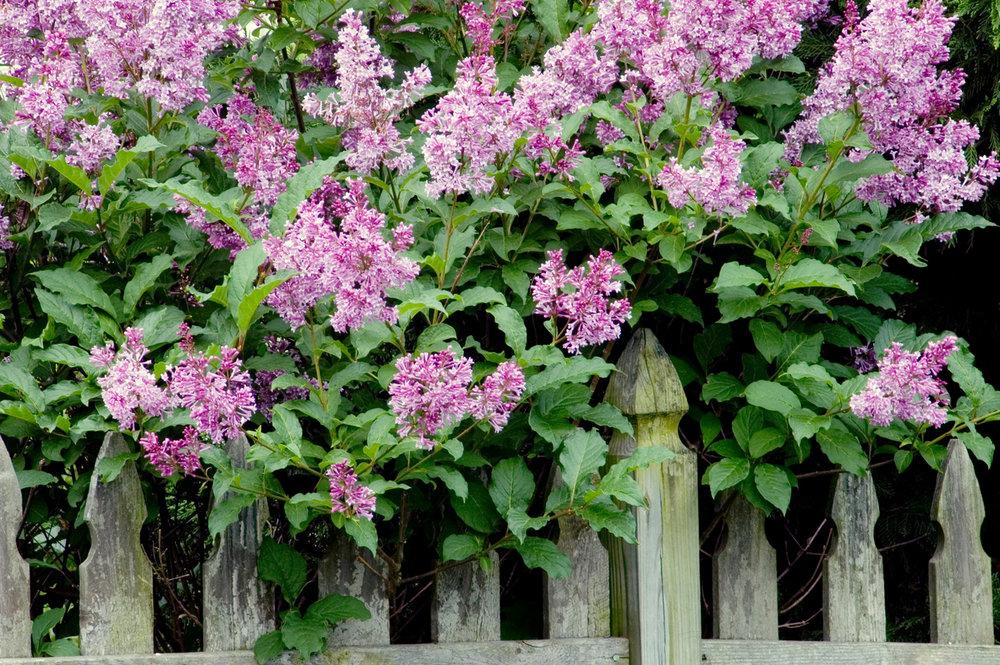 Flowers lilac -122799923.jpg