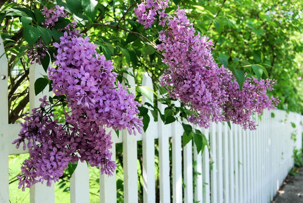 Flowers lilac -538483957.jpg
