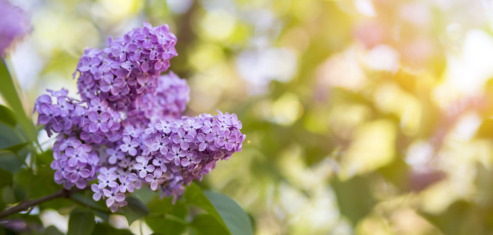 Flowers Lilac -564567426.jpg