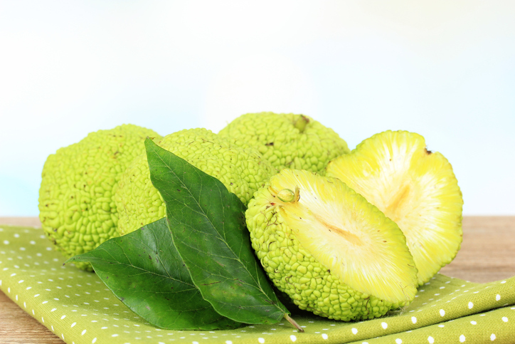Food Monk Orange Maclura pomifera -536815211.jpg