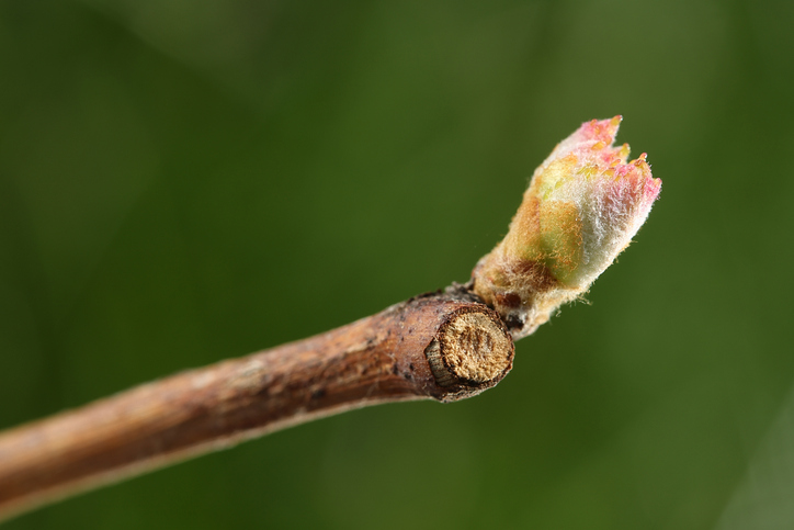 Tree branch flower bud spring -185245074.jpg