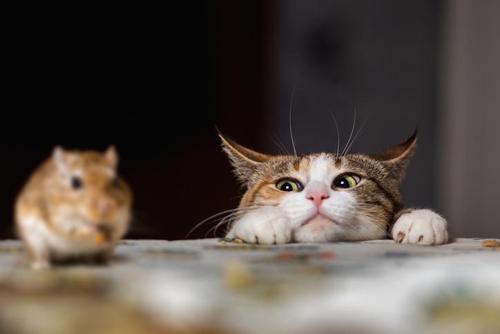 Cat mouse 507209918.jpg