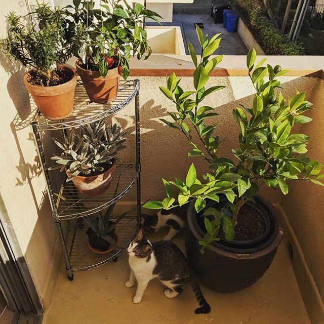 #rosemary #jalapeno #unidentifiedsucculent #aloe #meyerlemon #cats #sunset #losangeles