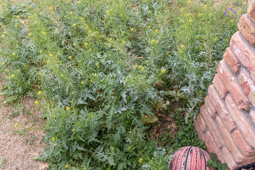 Back Yard Weeds