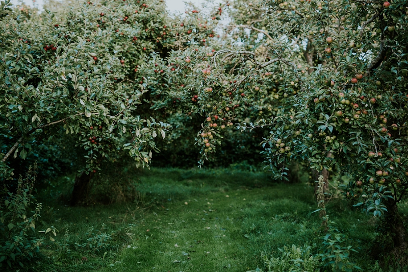bountiful-apple-orchard-at-sigridsminde