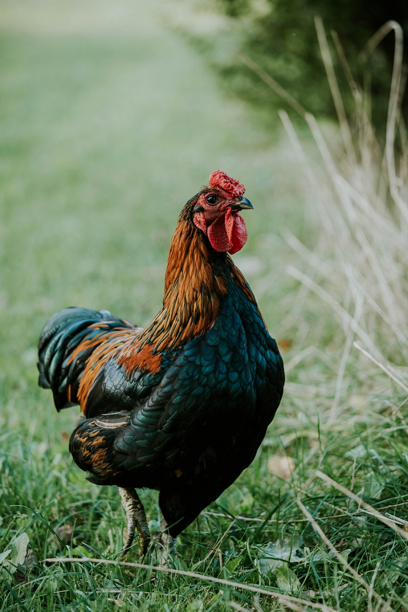 country-living-free-range-chickens-rooster