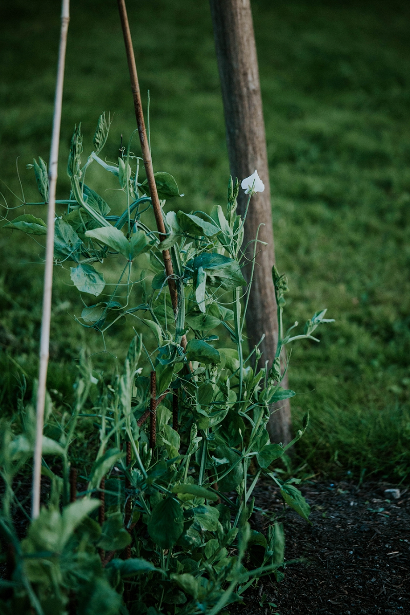 tying-up-sweet-pea-shoots