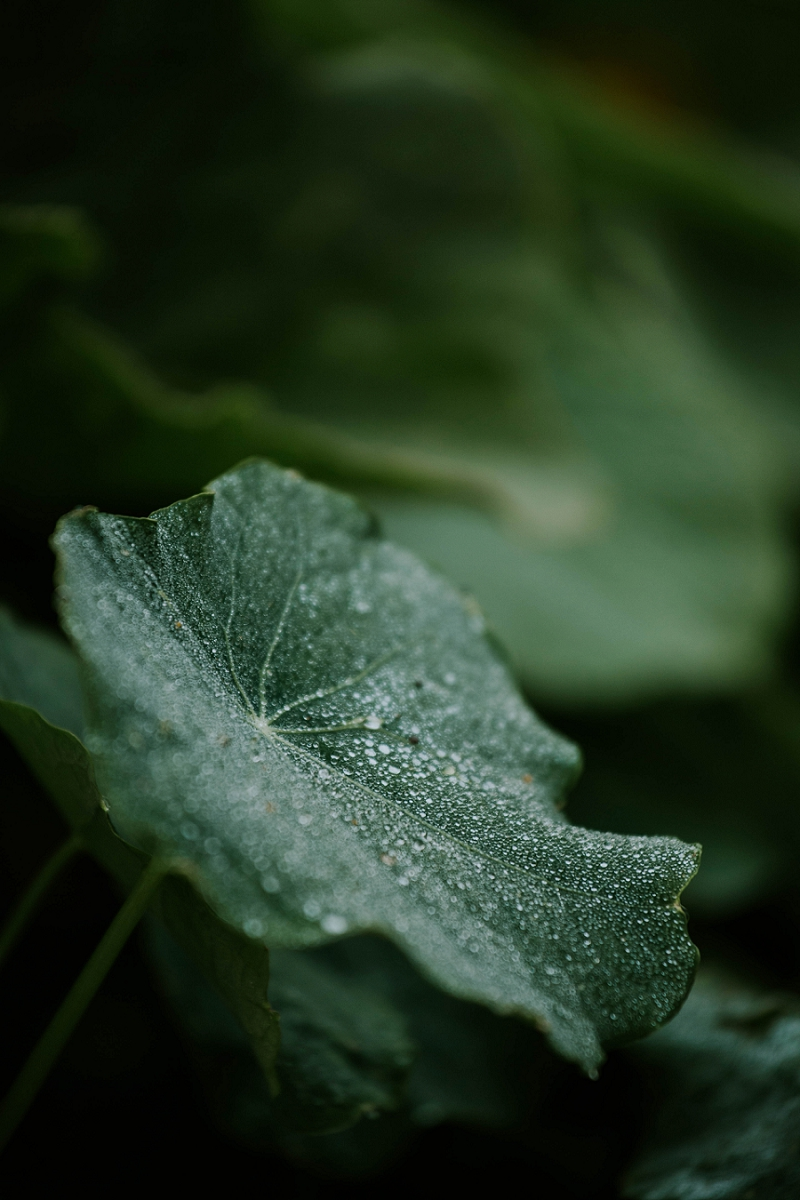 rain-drops-on-pumpkin-leaf