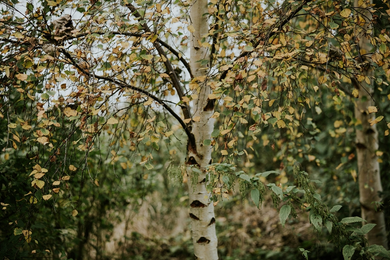 birch-tree-autumn-colours