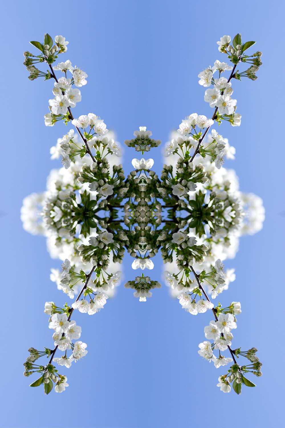 Kirschblütevierer02flatten.jpg
