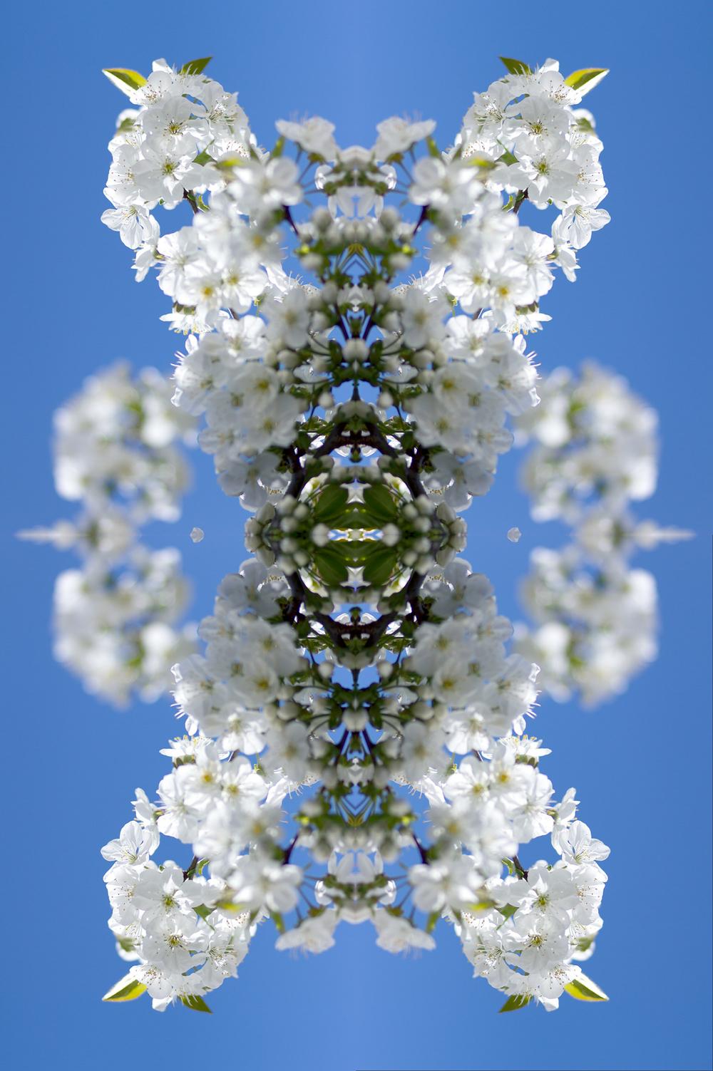 Kirschblütevierer03flatten.jpg