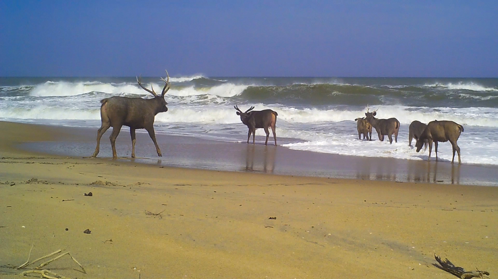 Sambar deer on the beach in Yala National Park. There's many theories going around on why they go into the sea, maybe its for ticks, maybe the salt - maybe its just cause they like it!