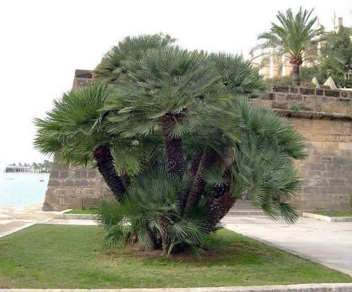 Chamaerops humilis in Majorca.jpg