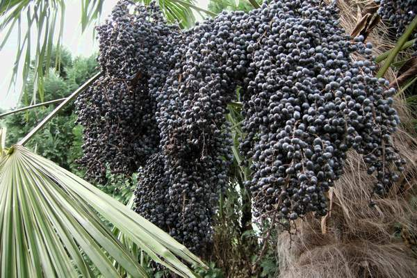 trachycarpus_fortunei_zaad.JPG