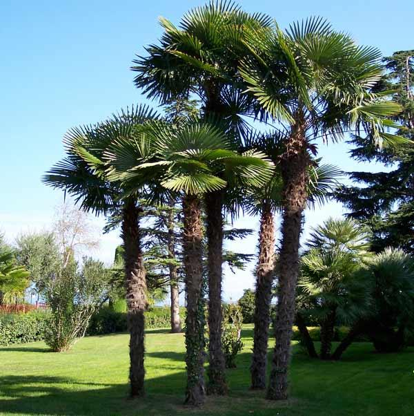 windmillPalmTree.jpg