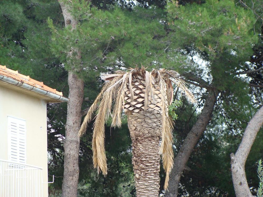 Brodarica kraj Šibenika - Jedna od prvih uništenih palmi već 2012.godine