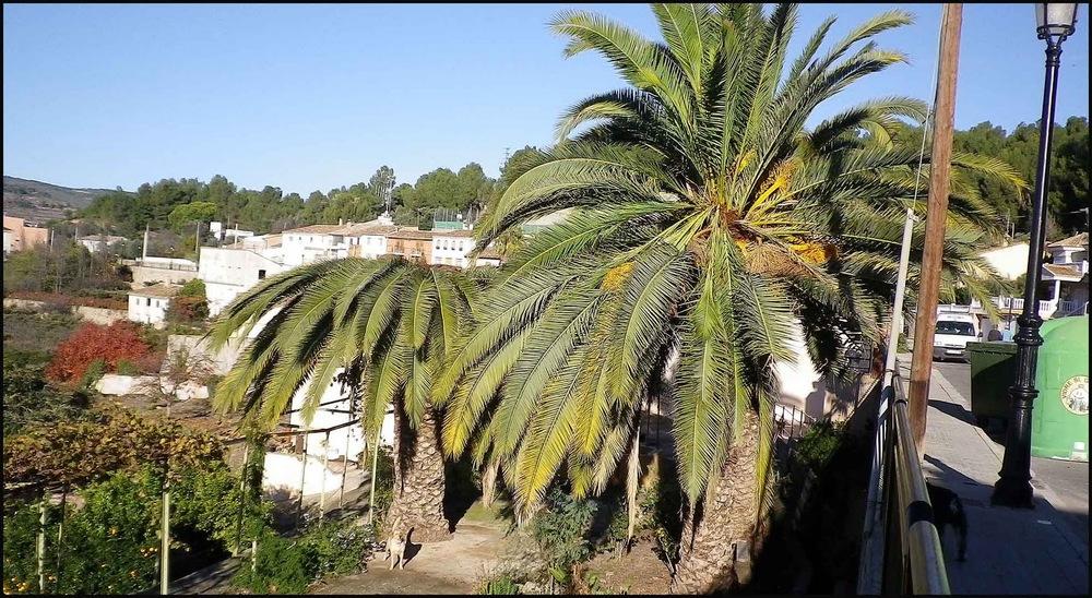 Dvije palme u odmakloj fazi napada. Palmu na desnoj strani slike je vjerojatno moguće spasiti dok je za palmu na lijevoj strani gotovo sigurno kasno.