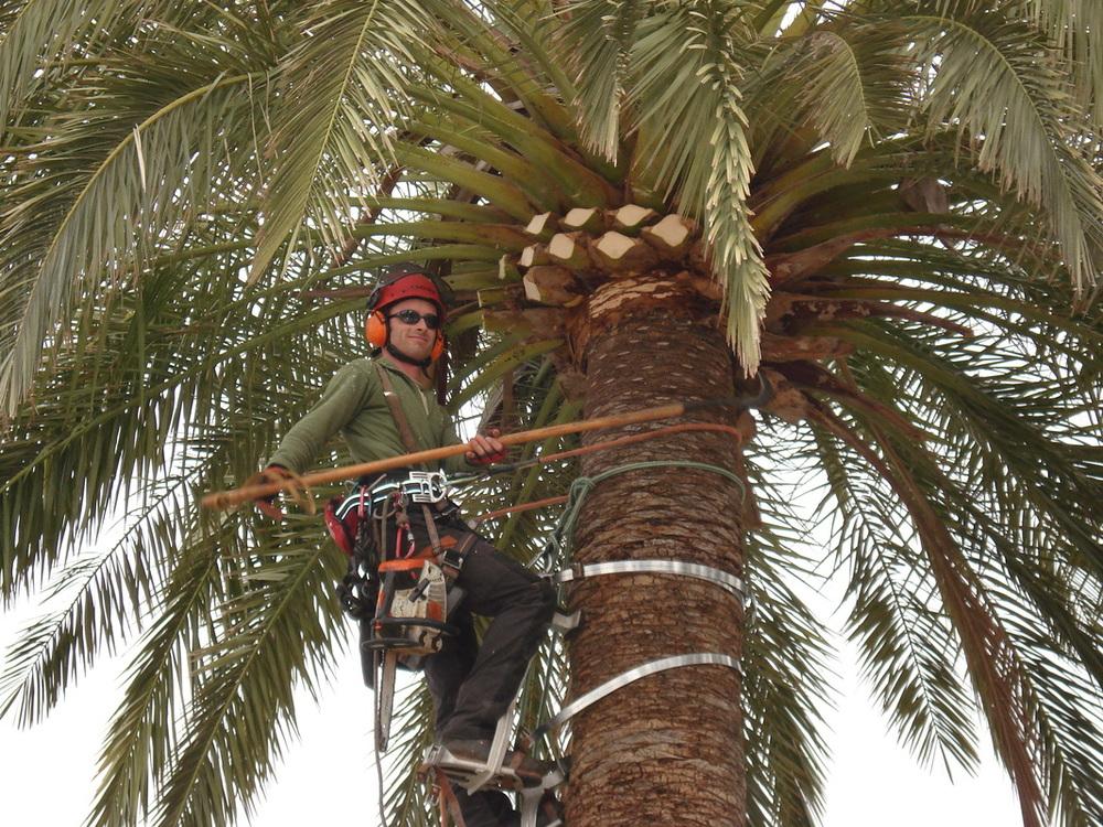 Kada se mahanizacijom ne može dosegnuti krošnja visoke palme, samo specijano obućeni penjači smiju se popeti na palmu za obaviti zahvat rezidbe ili tretiranja.