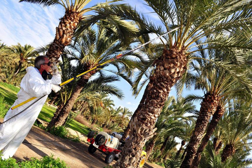 Prskanje krošnje niže palme sa tla