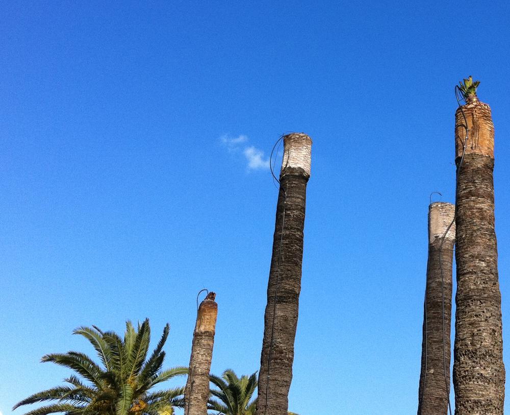 Palme koje se liječe s BiorendR Palmeras sa postavljenim cijevčicama za dostavu tog biološkog pripravka