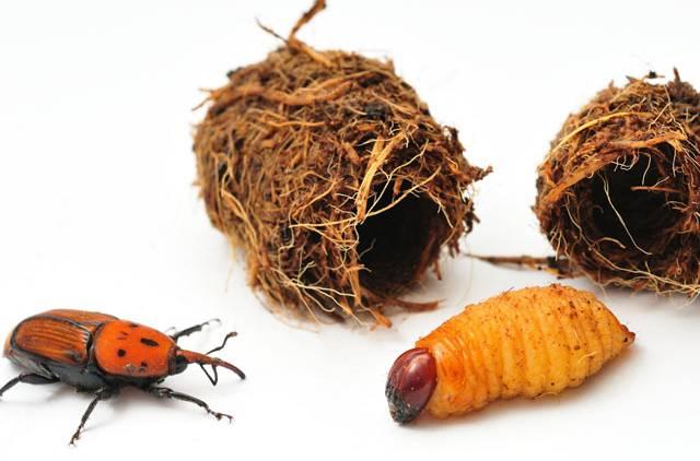 red palm weevil 1.jpg