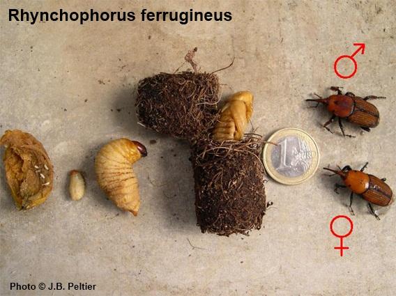 Sva 4 razvojna stadija crvene palmine pipe od jaja do odraslih jedinki