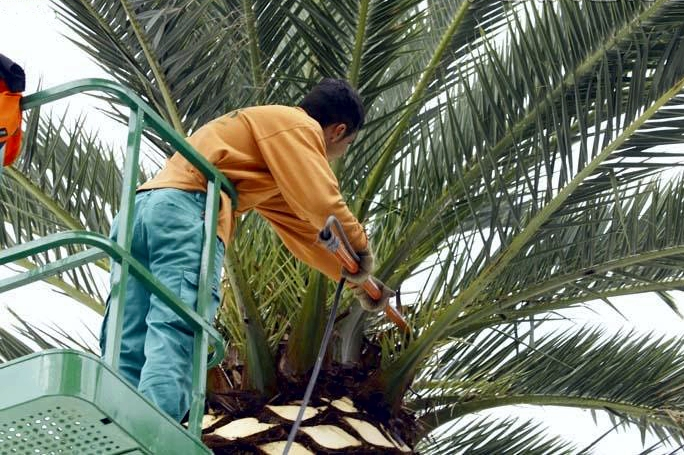Za dosegnuti krošnje visokih palmi potrebno je koristiti mehanizaciju poput hidrauličnog koša na kamion/dizalici.