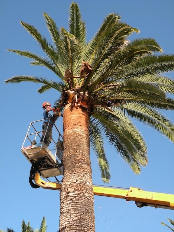 Šišanje palmi isključivo u zimskim mjesecima