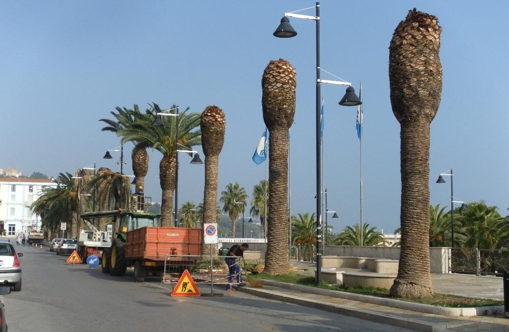 Bari, Italia - Čišćenje propalih krošnji predhodi potpunom pilanju i uklanjanju