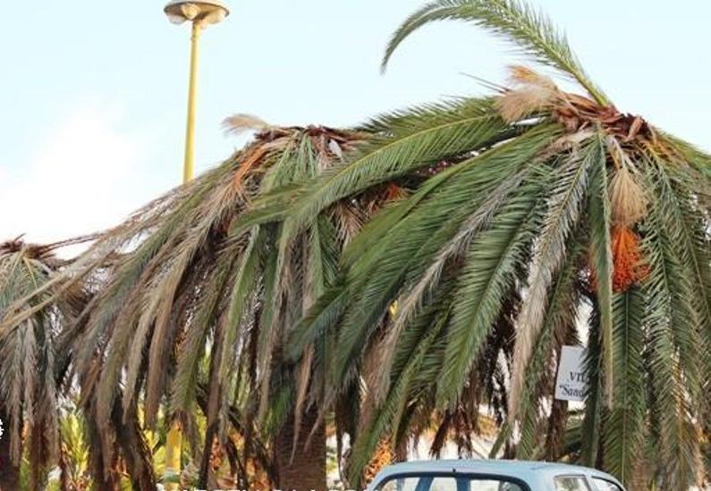 Almeria, Španjolska - Od zdravog izgleda palme dosegnu ovo stanje u par mjeseci.