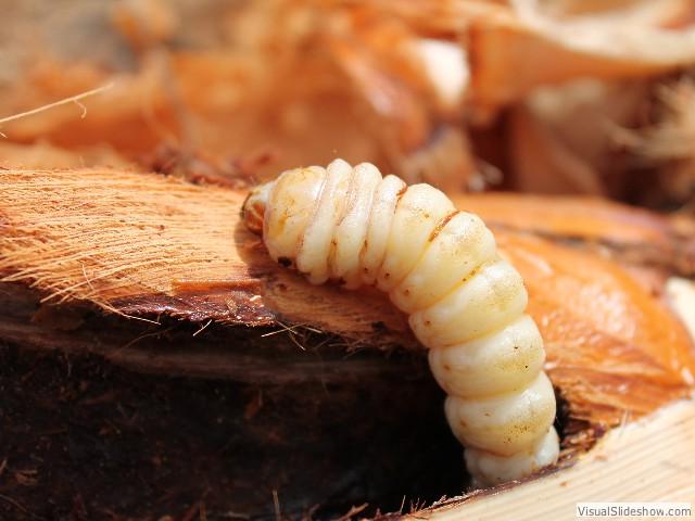 larve_de_pa_dans_tracycarpus_2.jpg