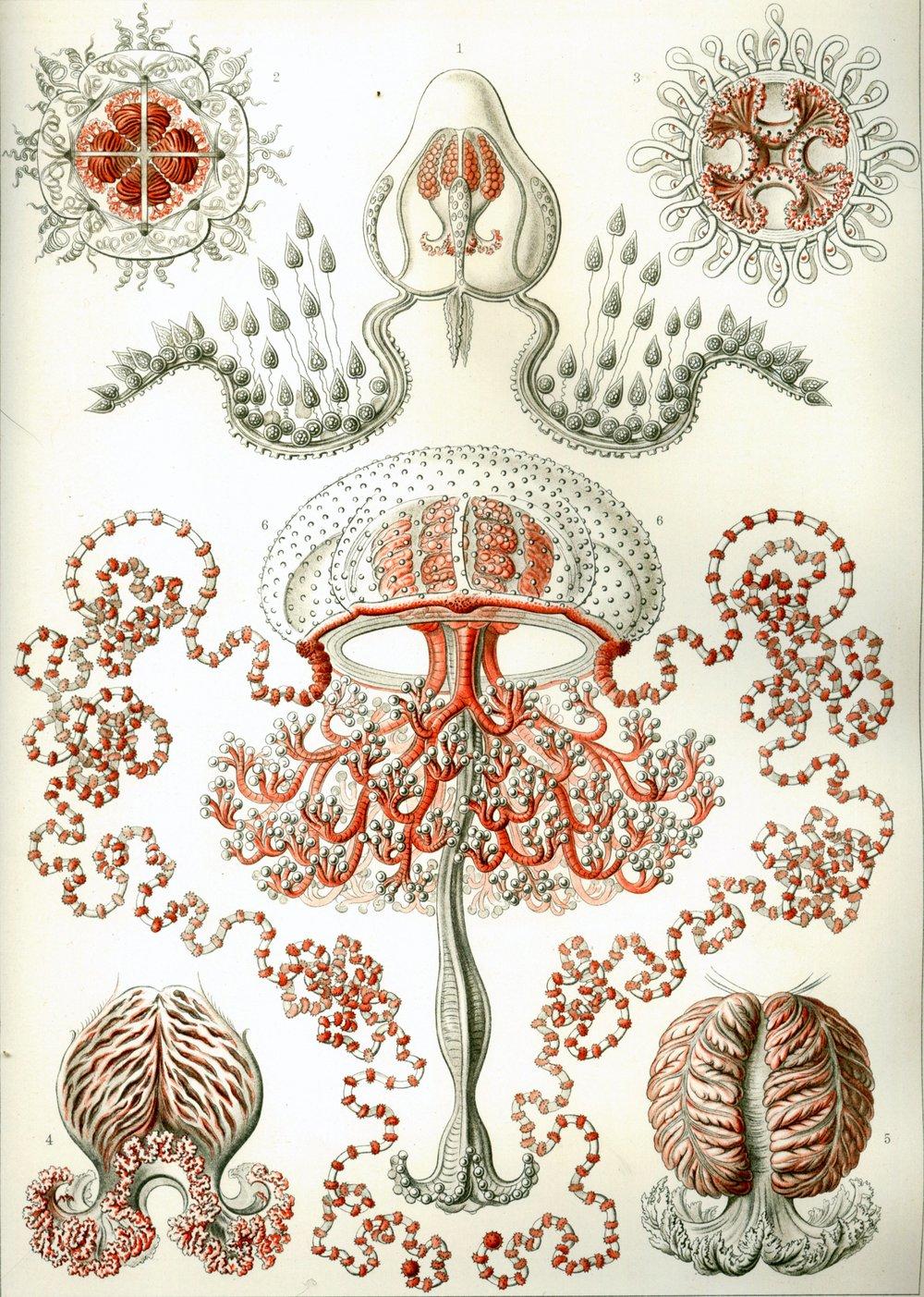 Haeckel_Anthomedusae.jpg