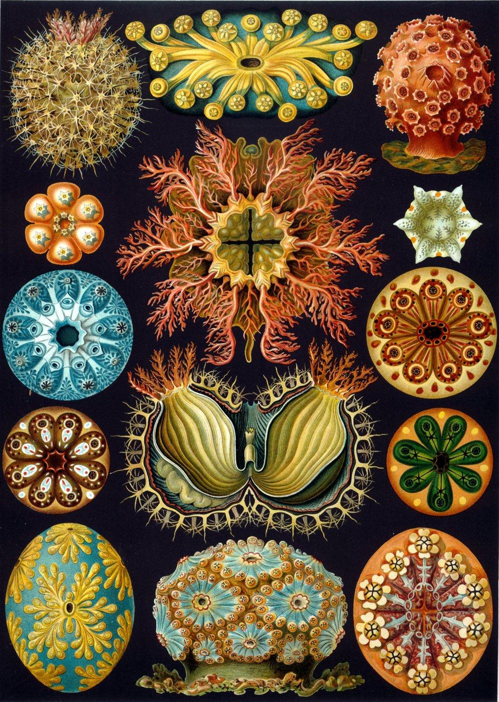 Haeckel_Ascidiae.jpg