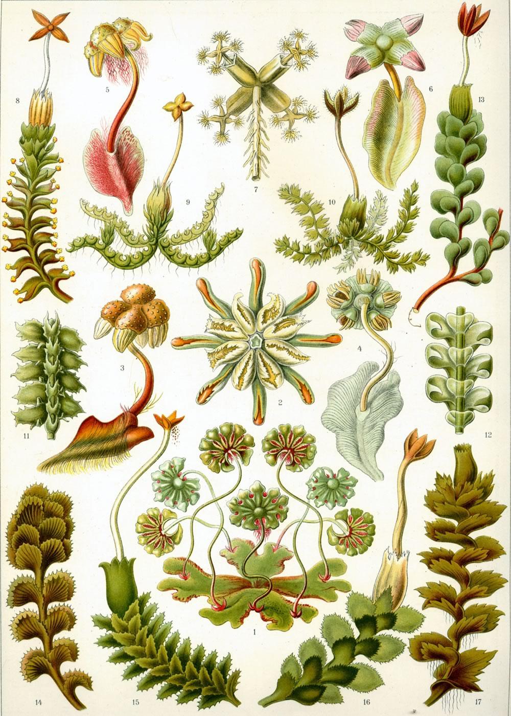 Haeckel_Hepaticae-1.jpg