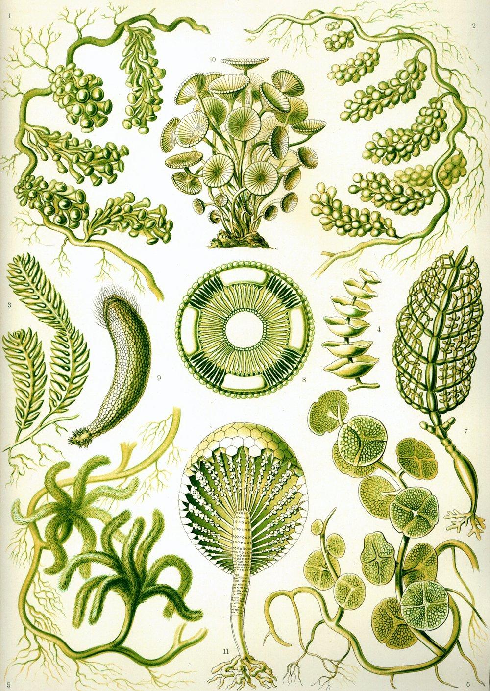 Haeckel_Siphoneae.jpg