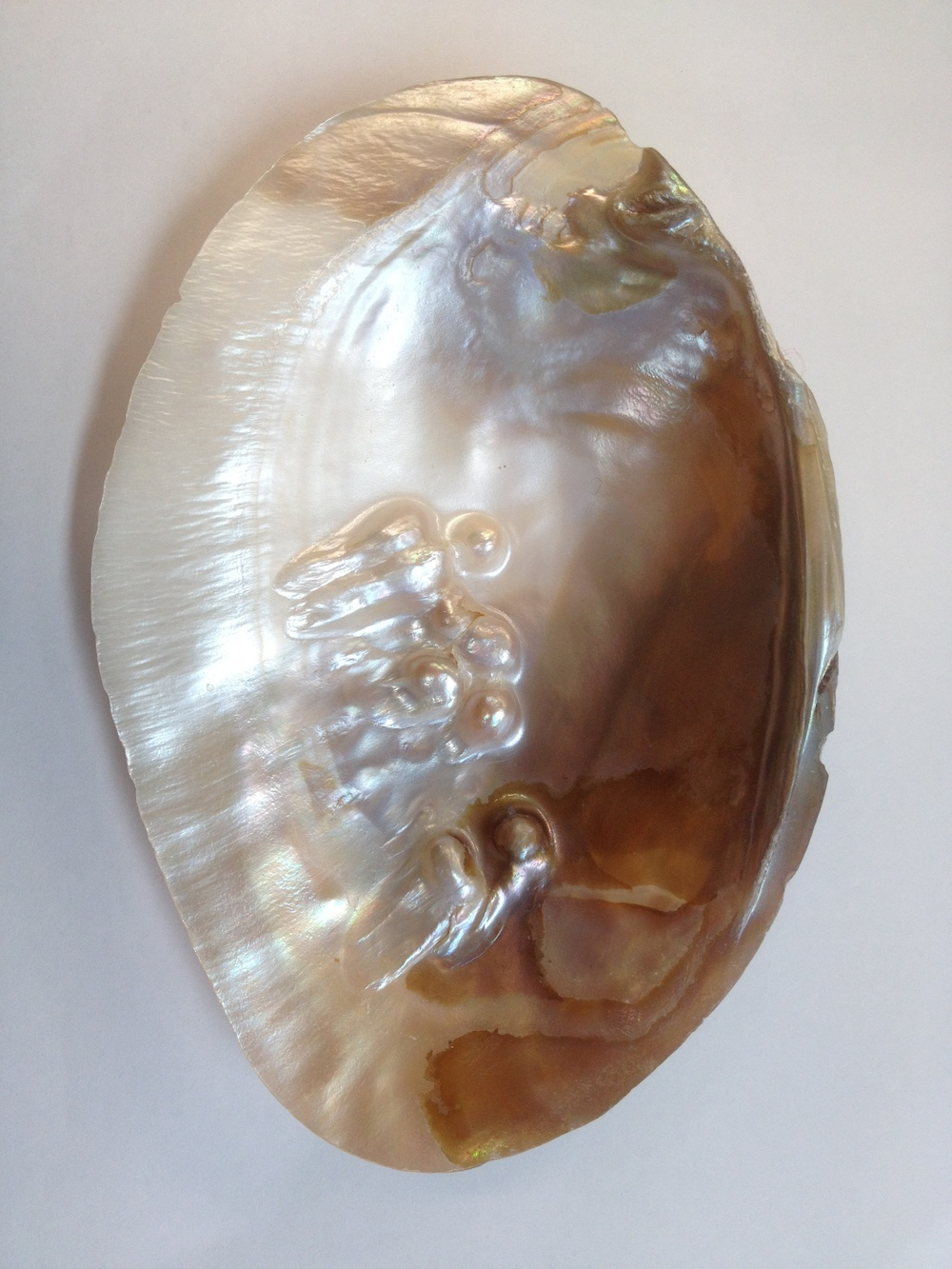 Oyster-Shell-Versus-Mussel-Shell-Freshwater-Pearl-Mussel.jpg