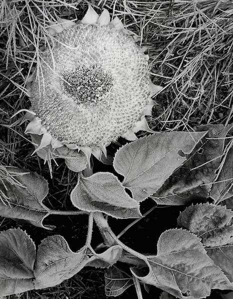 Fallen Sunflower, Vt.