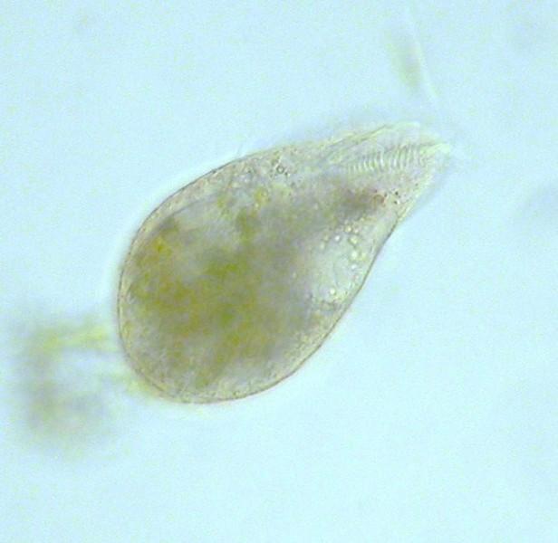 Protozoan digestion