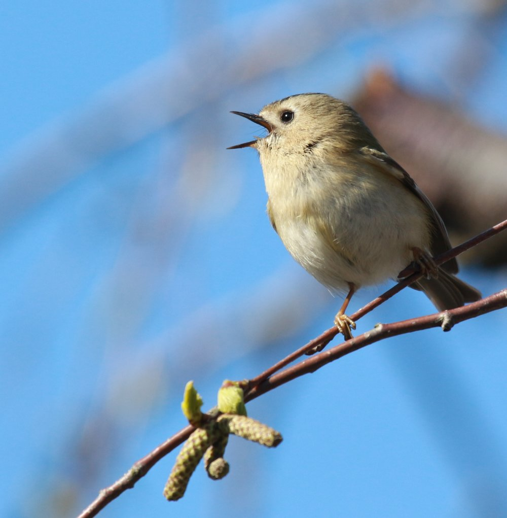 Singing Goldcrest