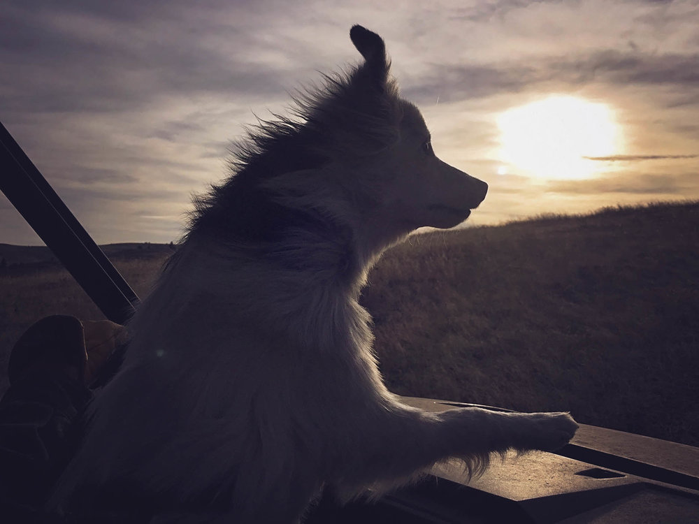 'Ollie' checking summer range at sunrise.